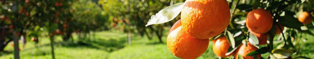 Скинали апельсиновый сад