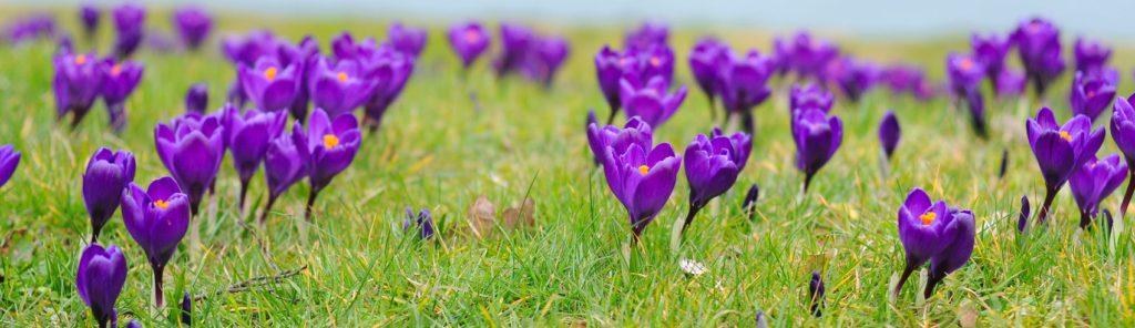 фиолетовые крокусы
