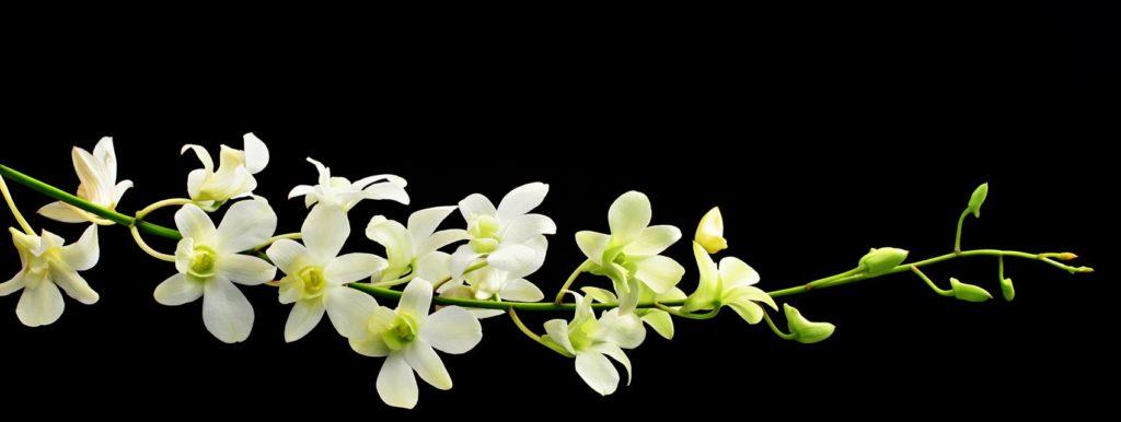 белые орхидеи на черном