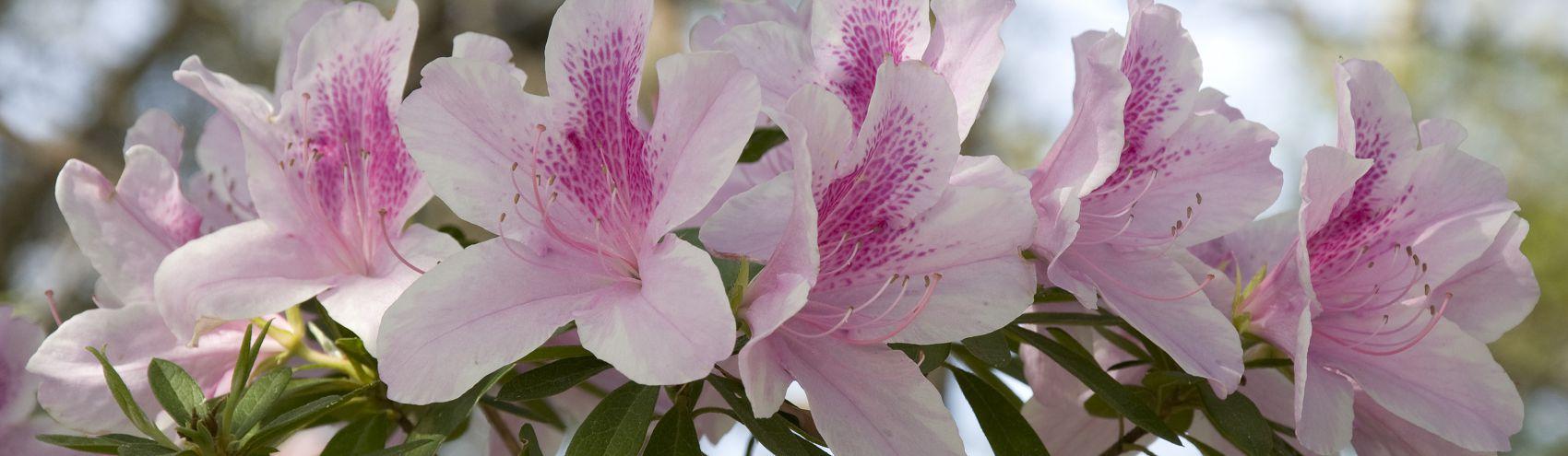 бело-розовые цветы азалия