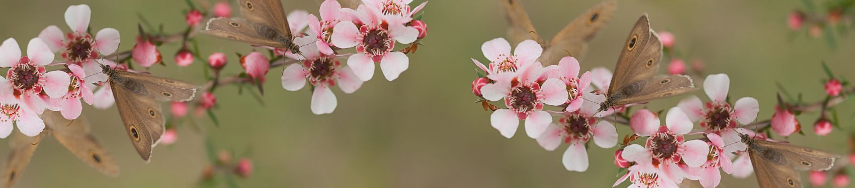 розовые цветы яблони