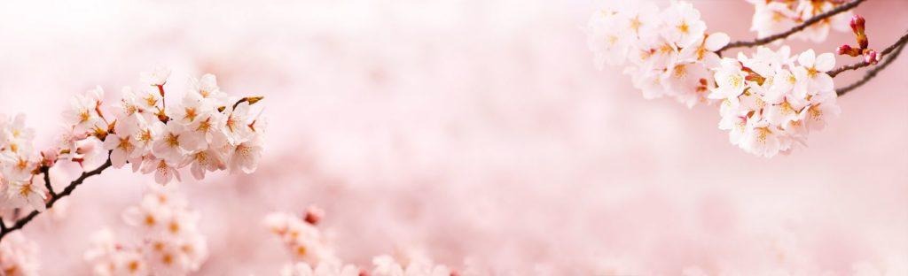 веточки цветущей сакуры
