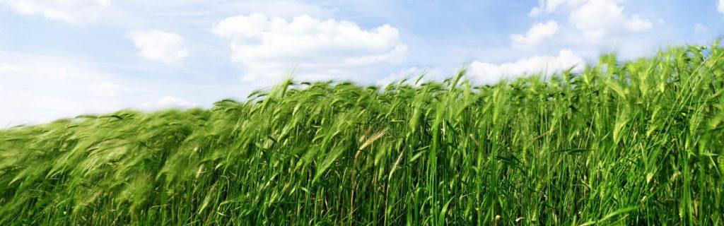 Поле зелёной пшеница