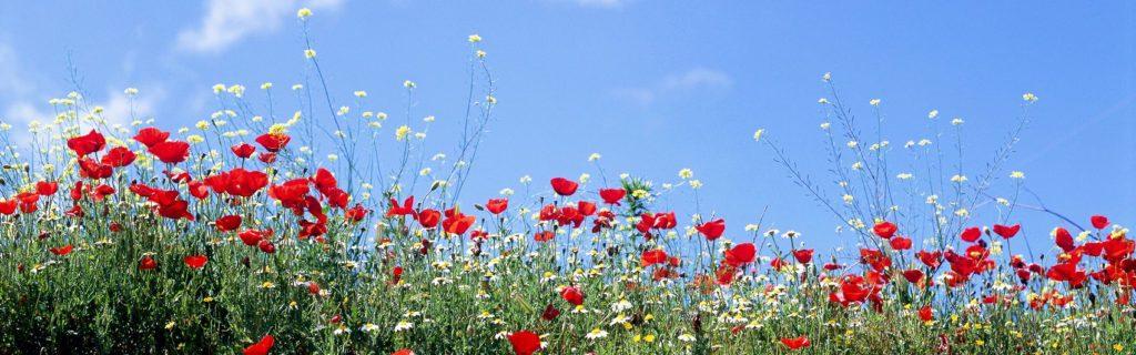 Полевые цветы маки