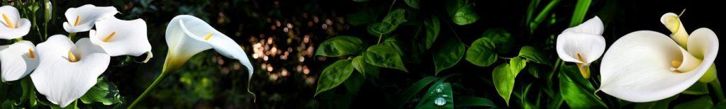 Цветы каллы и зелёные листья