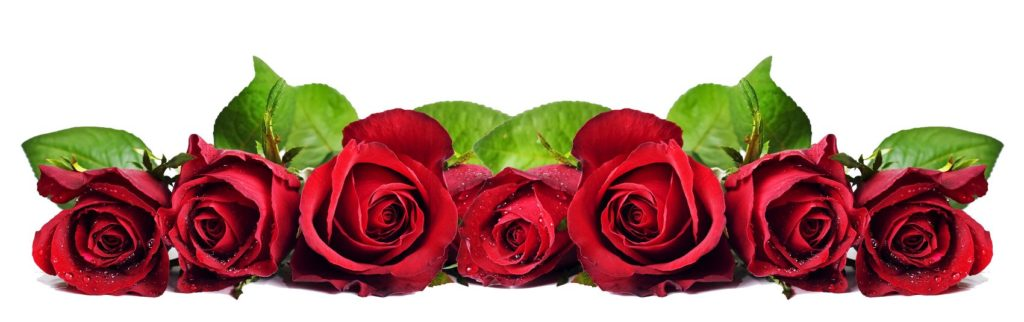 Красные розы на белом фоне