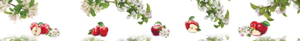 Цветущая яблоня и яблоки на белом фоне