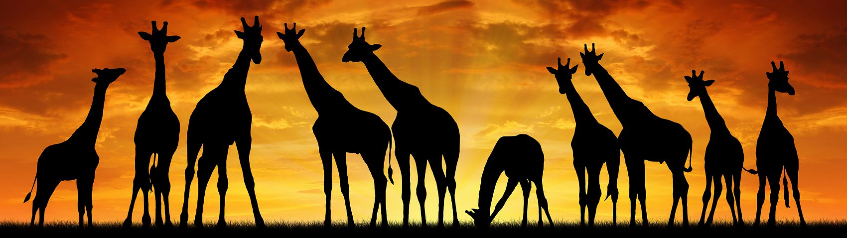 Закат в Африке с жирафами