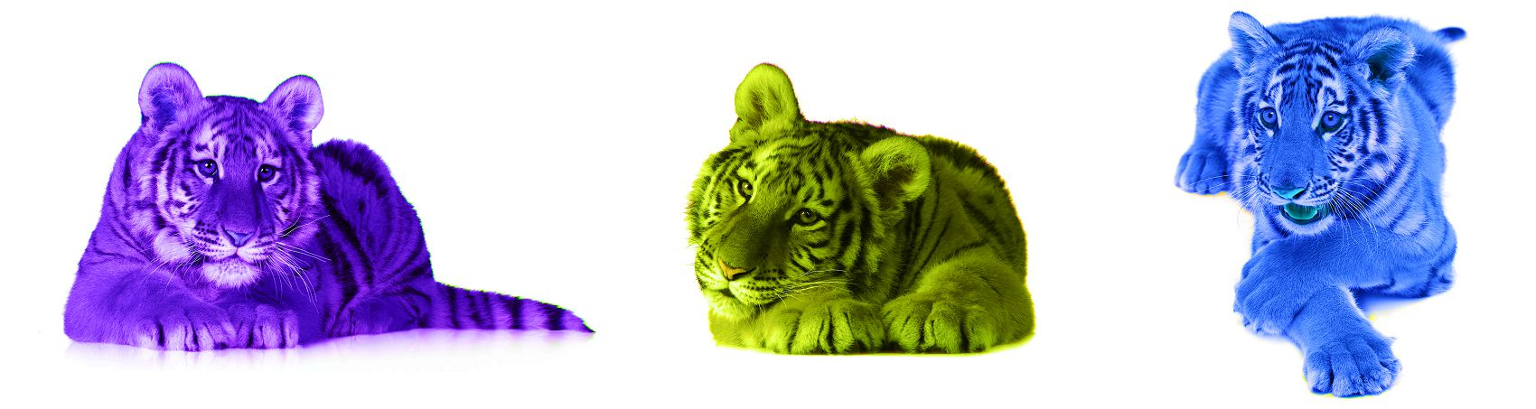 Три тигра на белом фоне