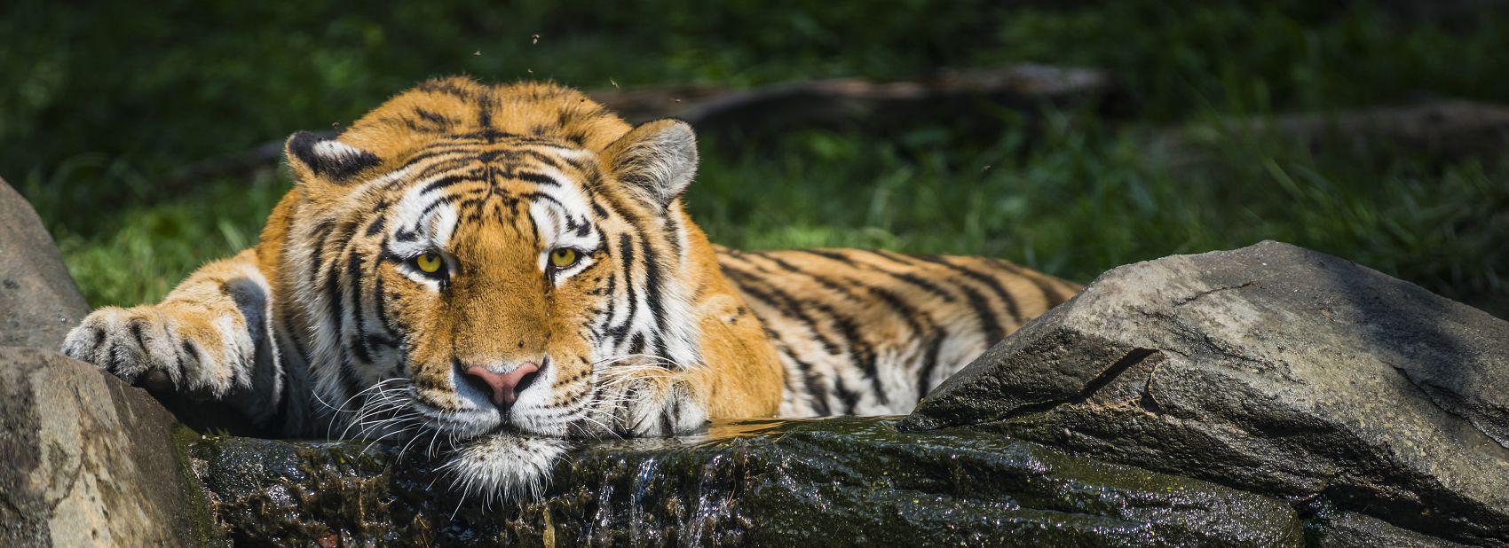 Северный тигр