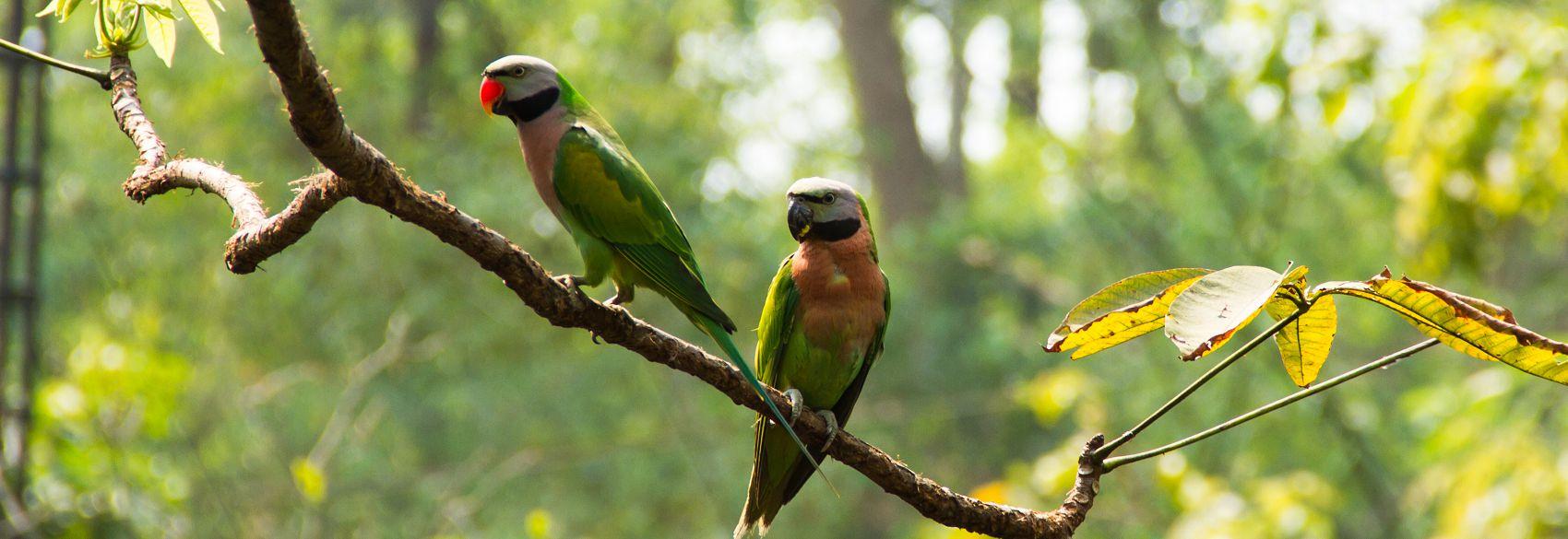 Розовогрудый кольчатый попугай