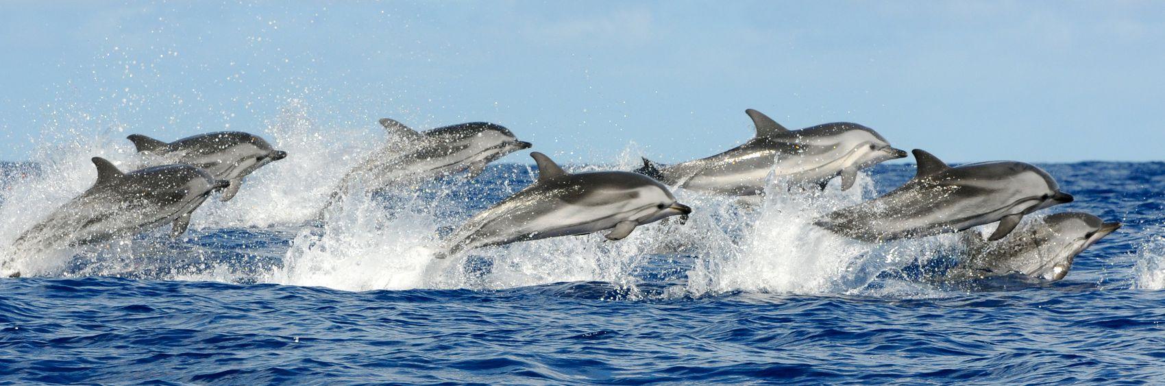 Дельфины над водой