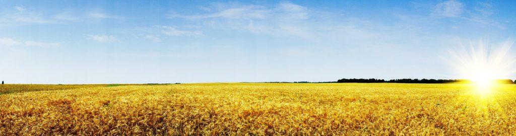 Поле пшеницы панорама